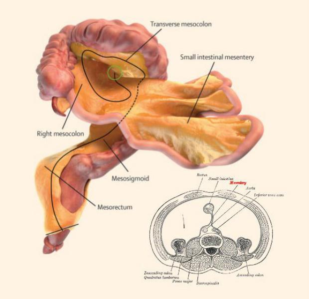 Ilmuwan Temukan Mesenterium Organ Baru Dalam Tubuh Manusia Labana Id